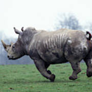 Rhinoceros Blanc Ceratotherium Simum Art Print