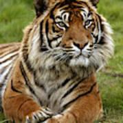 Tigre De Sumatra Panthera Tigris Art Print