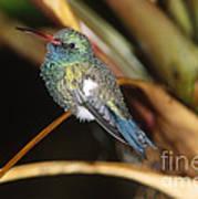 Broad-billed Hummingbird Art Print