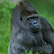 Gorille De Plaine Gorilla Gorilla Art Print