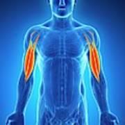 Human Arm Muscles Art Print