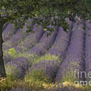 Lavender Field, France Art Print