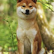Shiba Inu Dog Art Print