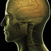 The Human Brain Art Print