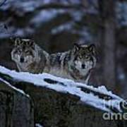 Timber Wolf Pictures Art Print by Wolves Only