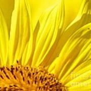 #923 D718 You Are My Sunshine. Sunflower On Colby Farm Art Print