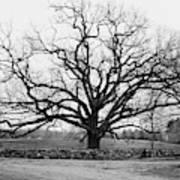 A Bare Oak Tree Art Print