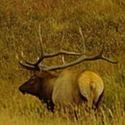A Big Bull Elk Art Print