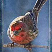 A Blue Morning Housefinch Art Print