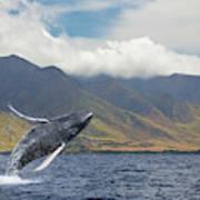 A Breaching Humpback Whale  Megaptera Art Print