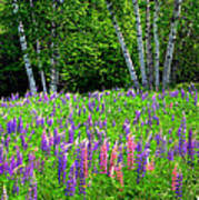 A Breathless Moment Among Lupine Art Print