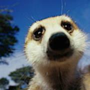 A Close View Of A Meerkats Face Art Print