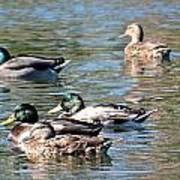 A Cluster Duck Art Print