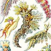A Collection Of Nudibranchia Art Print