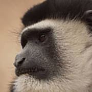 A Colobus Monkey Art Print