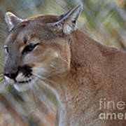 A Cougar In Deep Thought Art Print