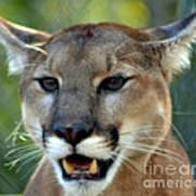 A Cougars Face Art Print
