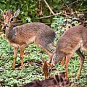 A Couple Of Dik-dik Antelopes In Tanzania. Africa Art Print