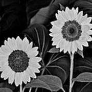 A Couple Of Sunflowers. Art Print