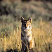 A Coyote Canis Latrans Stares Art Print