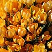 A Crowd Of Crocuses Art Print