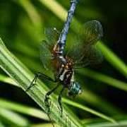 A Dragonfly Art Print