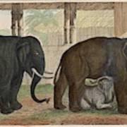 A Family Of Indian Elephants Art Print