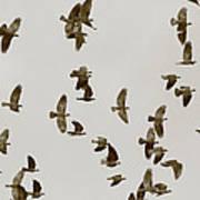 A Flock Of Flying Jackdaws Art Print