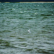 A Forster Tern Fighting The Winds Out At Sea Art Print