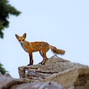 A Fox On The Rocks Art Print