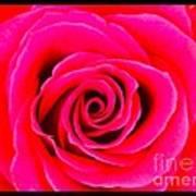 A Fuschia Pink Rose Art Print