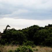 A Giraffe Giraffa Camelopardalis Among Art Print