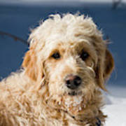 A Goldendoodle Lying In The Snow Bathed Art Print