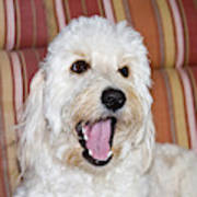 A Goldendoodle Lying On A Lawn Chair Art Print