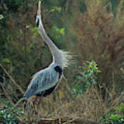 A Great Blue Heron Exhibits Greeting Art Print