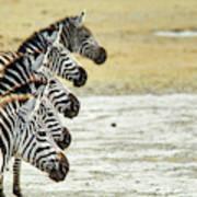 A Grevys Zebra In Ngorongoro Crater Art Print
