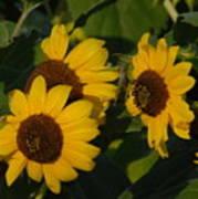 A Group Of Sunflowers Art Print