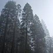 A Grove Of Pine Trees In Yosemite Valley Art Print