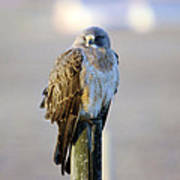 A Hawk On A Fence Post  Art Print