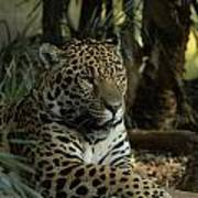 A Jaguar's Gaze Art Print