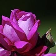A Light Blue Rose  Art Print