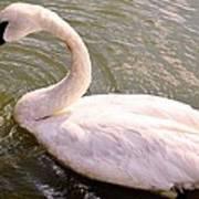 A Lone Swan Named Gracie Art Print