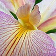 Iris  Metamorphosis Of The Iris Spring Equinox  Art Print