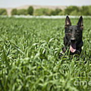 A Military Working Dog Sits In A Field Art Print by Stocktrek Images