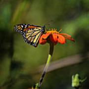 A Monarch Butterfly 1 Art Print