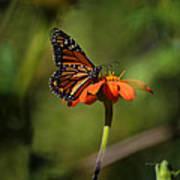 A Monarch Butterfly 2 Art Print