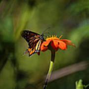 A Monarch Butterfly 3 Art Print