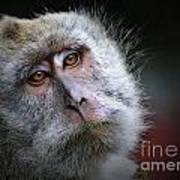 A Monkey's Look Art Print