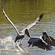 A Pair Of Brown Pelicans Art Print