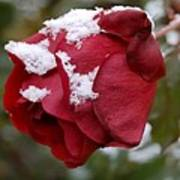 A Passing Unrequited - Rose In Winter Art Print